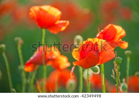 Blossoming poppy field in early June