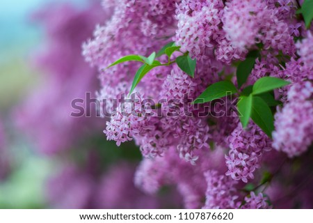 Blossoming purple lilacs in the spring. Selective soft focus, shallow depth of field. Blurred image, spring background.