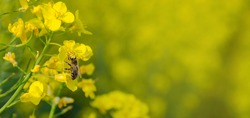 Blossoming rapeseed field in spring with a bee full of pollen.