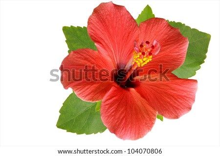 Blossoming red flower of treelike Hibiscus with two petals on pestle, stamens and leaves, isolated on white - stock photo