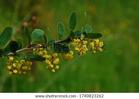 Blossoming shrub of the Berberis vulgaris (also known as common barberry, European barberry or simply barberry). It is one of the spring flowering plant with many bright yellow flowers Stock photo ©