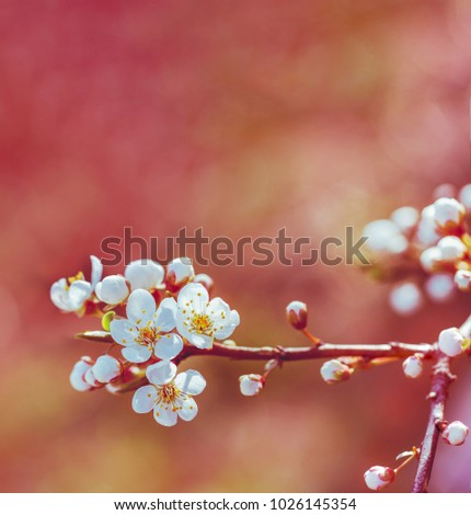 blossoming spring branch of a fruit tree with white flowers. shallow depth of field, selective focus. tinted photo #1026145354