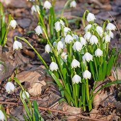 Blossoming spring knot flowers, leucojum vernum