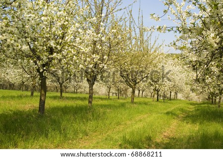 Blossoming spring tree fruit orchard, nature in bloom, background