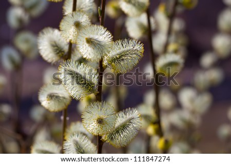 Blossoming spring willow twig with buds on blue sky background