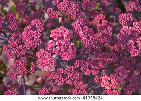 Blossoming stonecrop (sedum) background