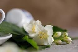 Blossoming tender jasmine flowers. Snow-white beautiful flowers.