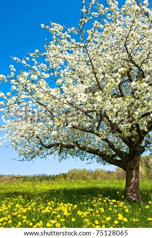 Blossoming tree in spring on rural meadow #75128065