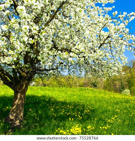 Blossoming tree in spring on rural meadow #75528766