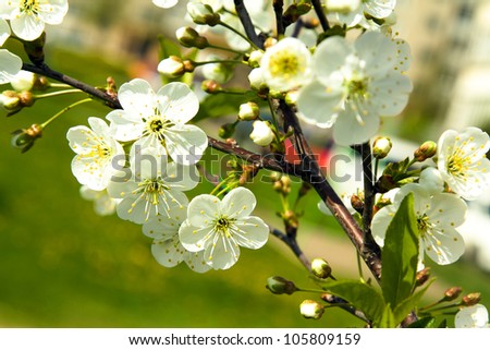 blossoming tree of an apple-tree. spring season