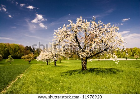 Blossoming trees in spring in rural scenery with deep blue sky