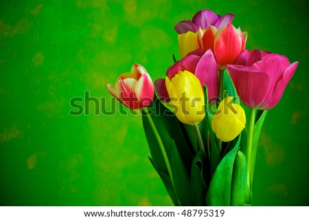 Blossoming tulips in a vase. Colorful flowers