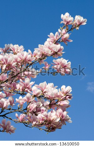 Blossoming twig of magnolia-tree on sky background.