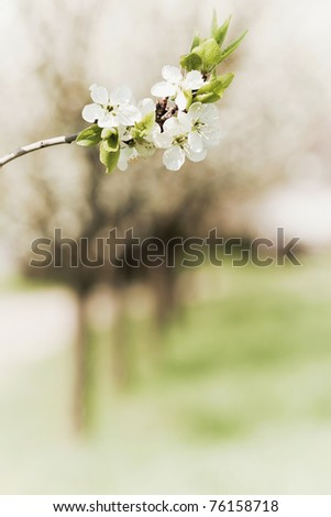 Blossoming twig of plum-tree