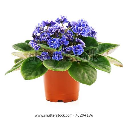 Blossoming violets in flower pot - isolated on white background #78294196