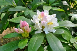 Blossoming white branch of rhododendron in spring. Close-up view of a shrub with flowering white rhododendron flowers. Cunningham's White Rhododendron