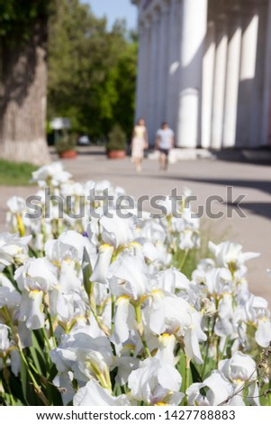 Blossoming white iris in a spring garden, white flowers, blank for a designer, botanical garden, postcard on a holiday Against the background of the palace building with columns in the spring city #1427788883