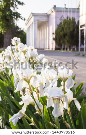 Blossoming white iris in a spring garden, white flowers, iris flowers on a blurry background, blank for a designer, botanical garden, postcard on a holiday Against the background of the palace #1443998516