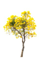 blossoming yellow flower and tree isolated on white background