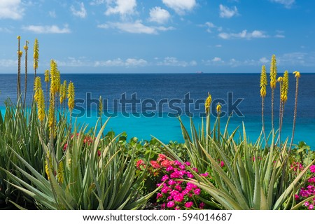 Blossoming, yellow flowers aloe-vera plant and blue sea, Curacao island, Caribbean