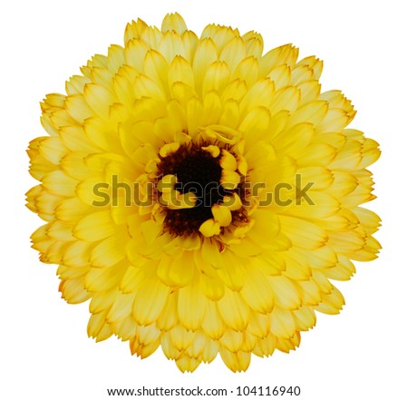 Blossoming Yellow Gerbera Flower in - Beautiful Gerbera aurantiaca Isolated on White Background