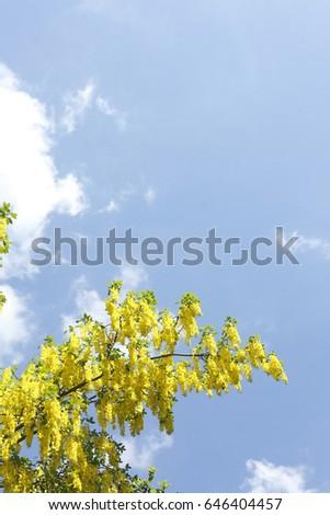 Blossoming Yellow Laburnums #646404457