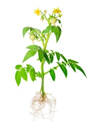 blossoming young seedling of fresh green tomatoes fruit with exposed roots is isolated on white background, close up