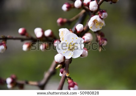 blossoms of an apricot