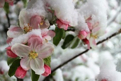 blossoms of an flowering apple tree in spring covered with snow/cold weather causing damage of fruit production/late onset of winter, cold spell in spring, low yield of trees