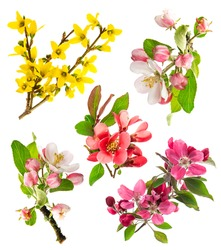 blossoms of apple tree, cherry twig, forsythia. set of spring flowers isolated on white background