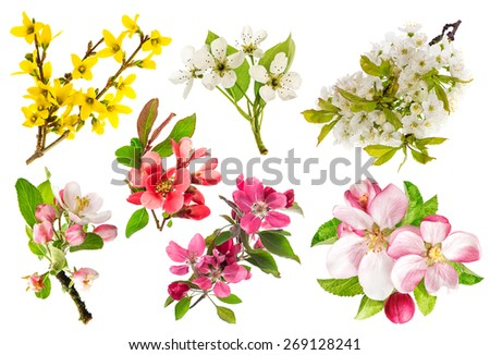 Blossoms of apple tree, cherry twig, pear, forsythia. Set of spring flowers isolated on white background.