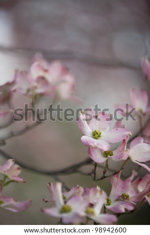 Blossoms on a Dogwood tree in the spring.