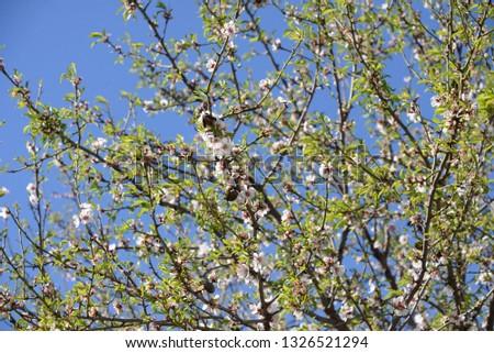 Blossoms on almond tree, Costa Blanca, Spain #1326521294