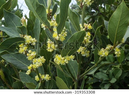 blossoms on the branches of laurel tree #319353308