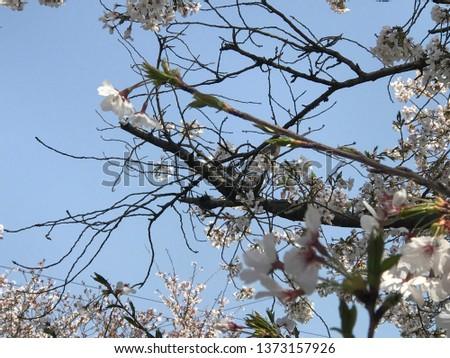 Blosson sakura cherry