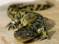 Blotched Tiger Salamander (Ambystoma mavortium melanostictum)