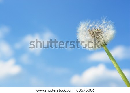 blow-ball dandelion clock at springtime in the wind
