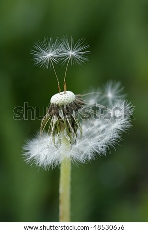 stock-photo-blow-ball-loosing-seeds-in-the-wind-48530656.jpg