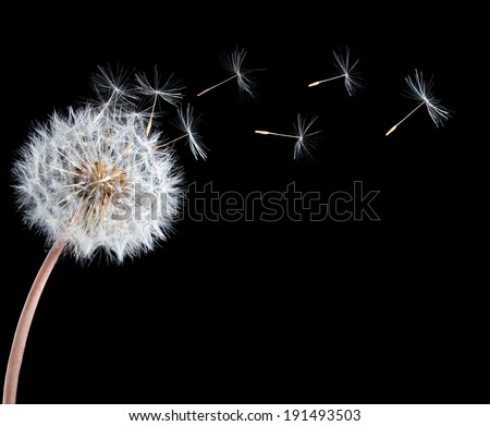 Blow ball of dandelion flower isolated on black background #191493503