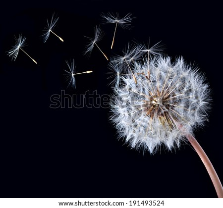 Blow ball of dandelion flower isolated on black background