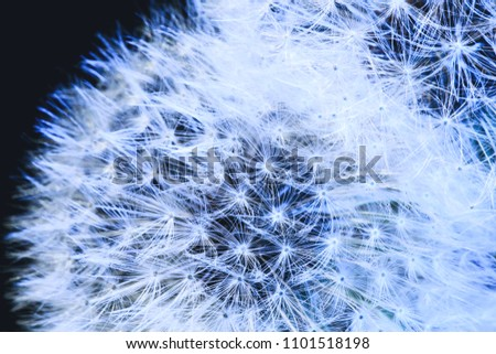 Blow ball of dandelion plant with fluff and seeds on blue background.  Close-up of beautiful fluffy dandelion. Amazing parachutes of dandelion seeds in macro picture. Best for covers and backgrounds.