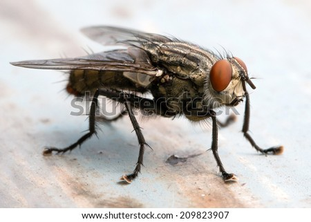 Blow fly, carrion fly, bluebottles, greenbottles, or cluster fly #209823907