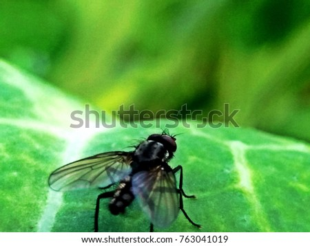Blow fly, carrion fly, bluebottles or cluster fly #763041019