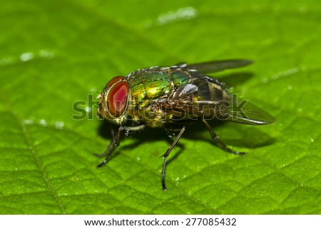 Blow-fly pathogens are glands dung,Blow-fly,Chrysomya megacephala (Fabricius)