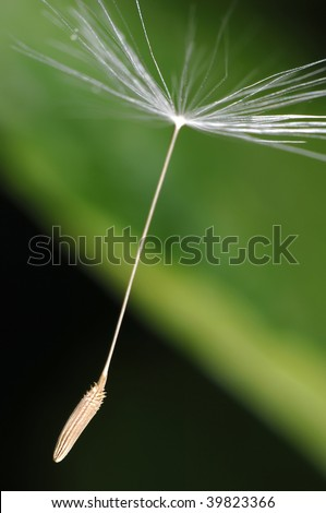 Blowball seed flying through the air