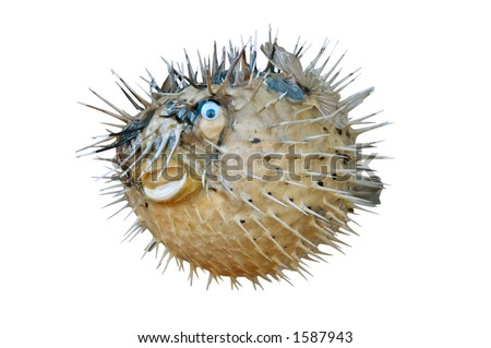 Blowfish isolated with clipping path on white background