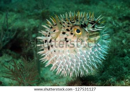 Blowfish or puffer fish underwater in ocean