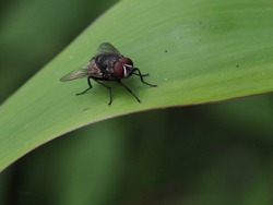 Blowfly, carrion fly, black fly sitting on a green grape leaf close up. Natural background.
