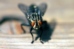 Blowfly, carrion fly, black fly sitting on a wooden surface close up. Natural background.