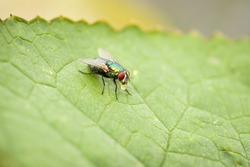 Blowfly on a green leaf